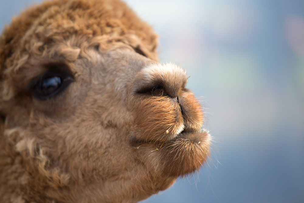portait of an Alpaca