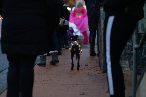 A dog wrapped in fairy lights for the parade