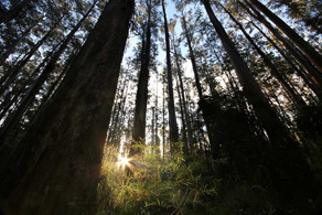 Sun setting behind the ferns in the Dandenong Ranges near grants pic-nic ground, Kallista, Vic ©Erika's Way