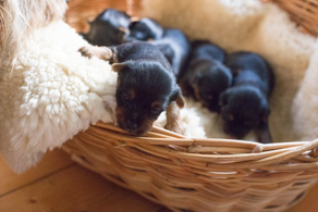 ten-days-old Australian Sily Terriers Puppies in a laundry Basket ©Erika's Way
