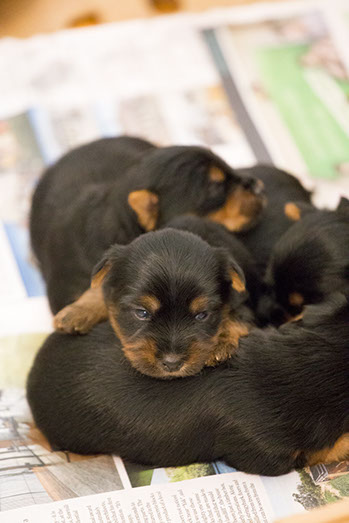 Australian silky Terrier puppies nap time © Erika's Way Photography