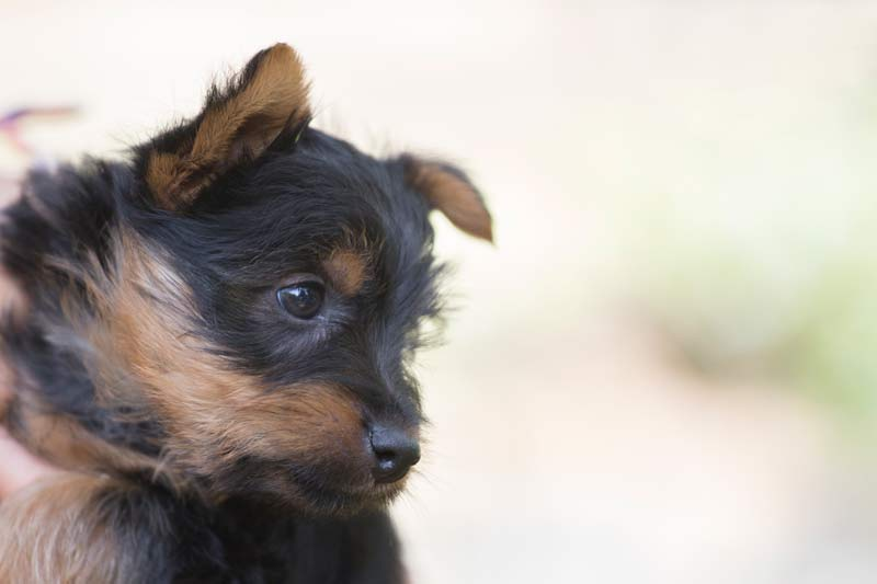 Australian silky Terrier puppy © Erika's Way Photography in Melbourne