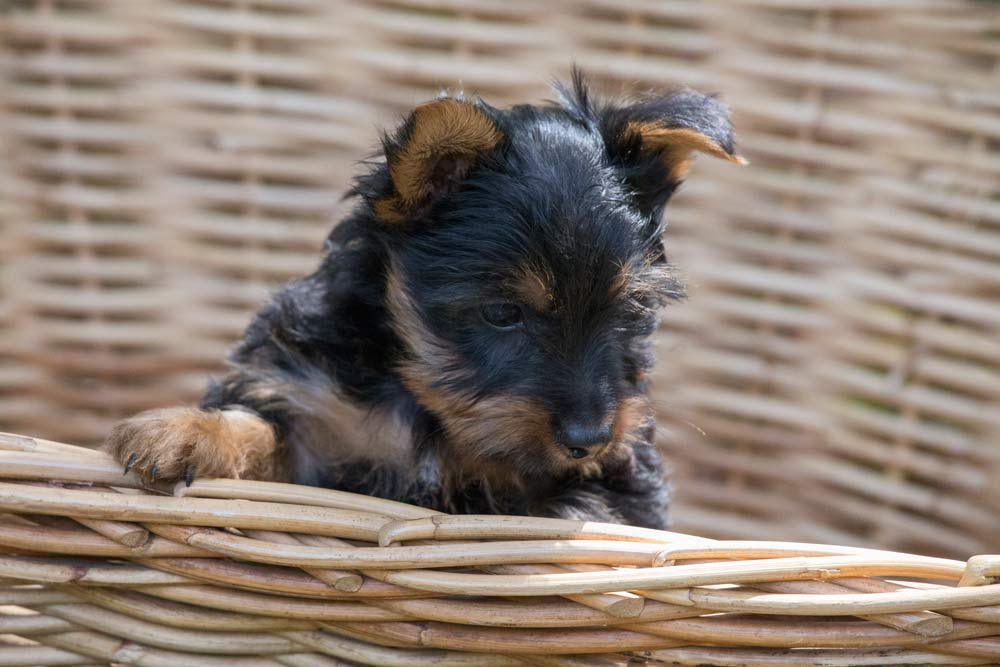 Australian silky Terrier puppy exploring the outside world © Erika's Way Photography