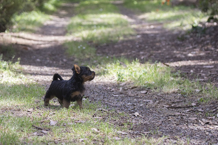 Australian silky Terrier puppy © Erika's Way Photography in Melbourne and Dandenong Ranges